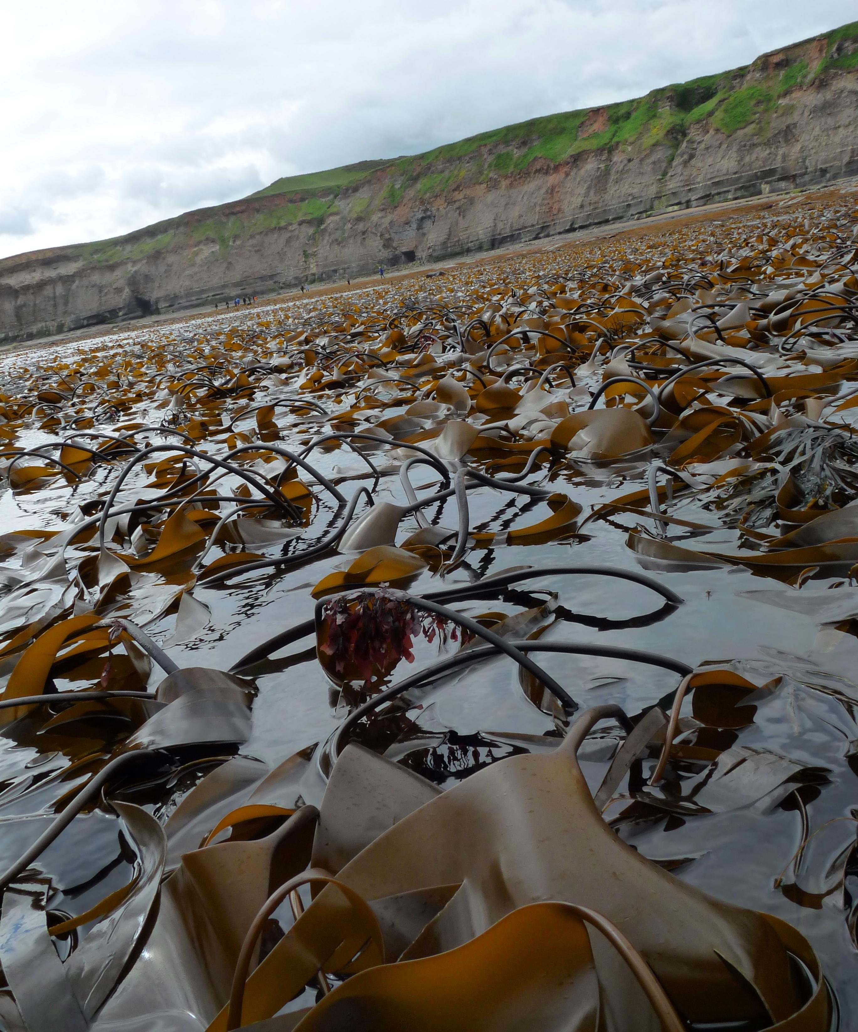 Kelp and Dulse