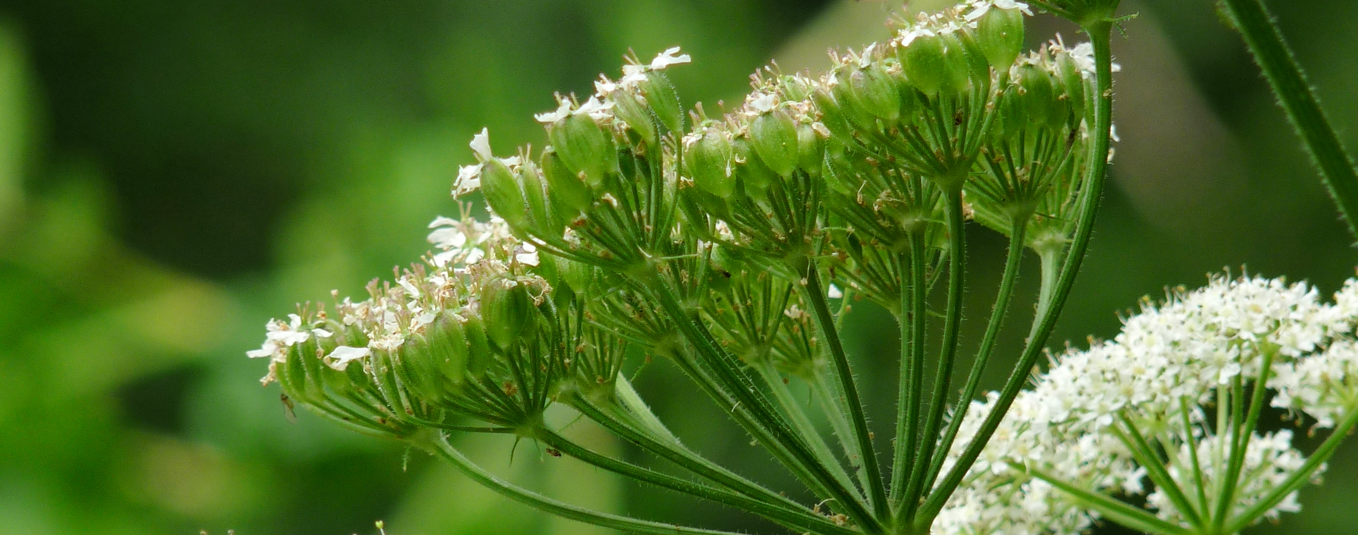 hogweed flowers and seeds (2)