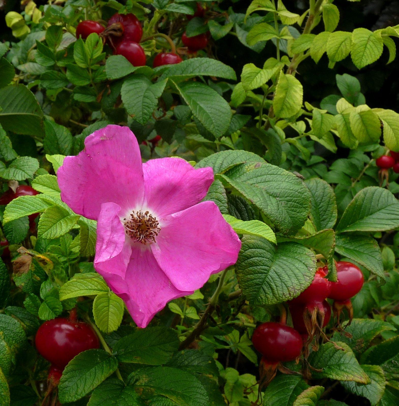 Japanese rose (square)