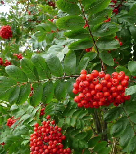 rowen berries1