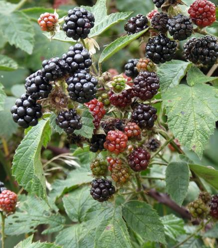 Blackberries 3