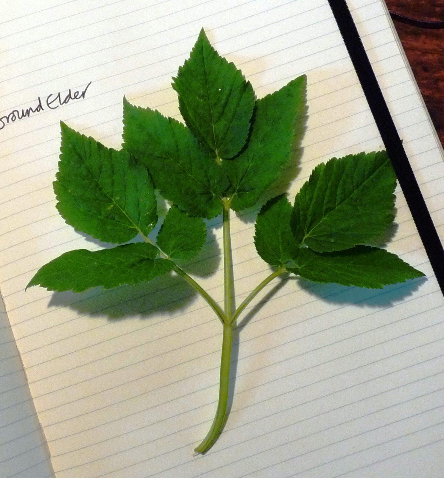 Ground elder leaf