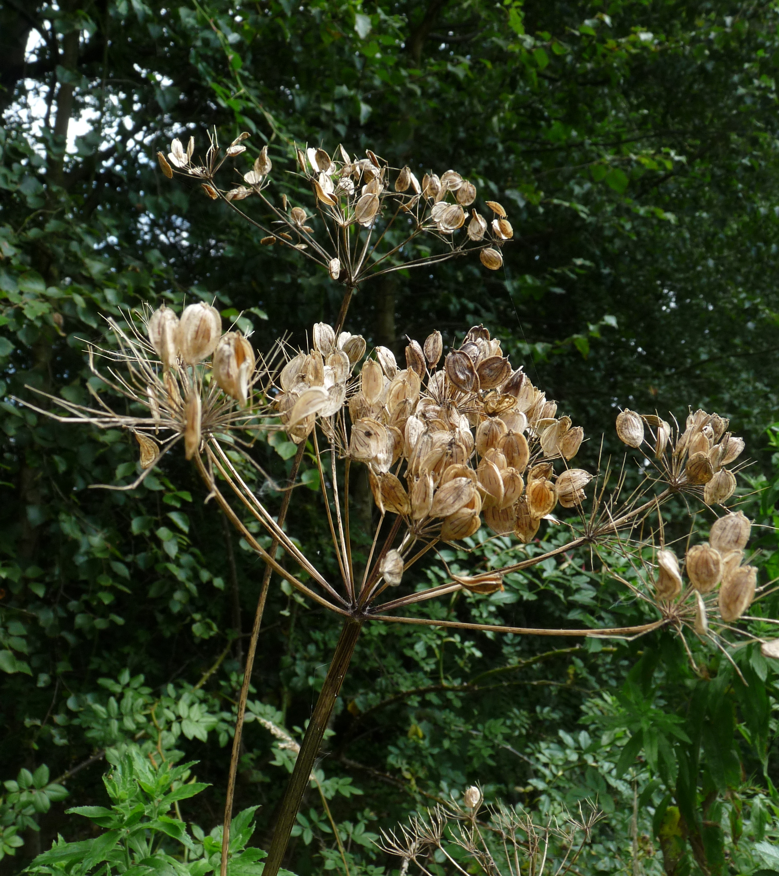 hogweed seeds (2)